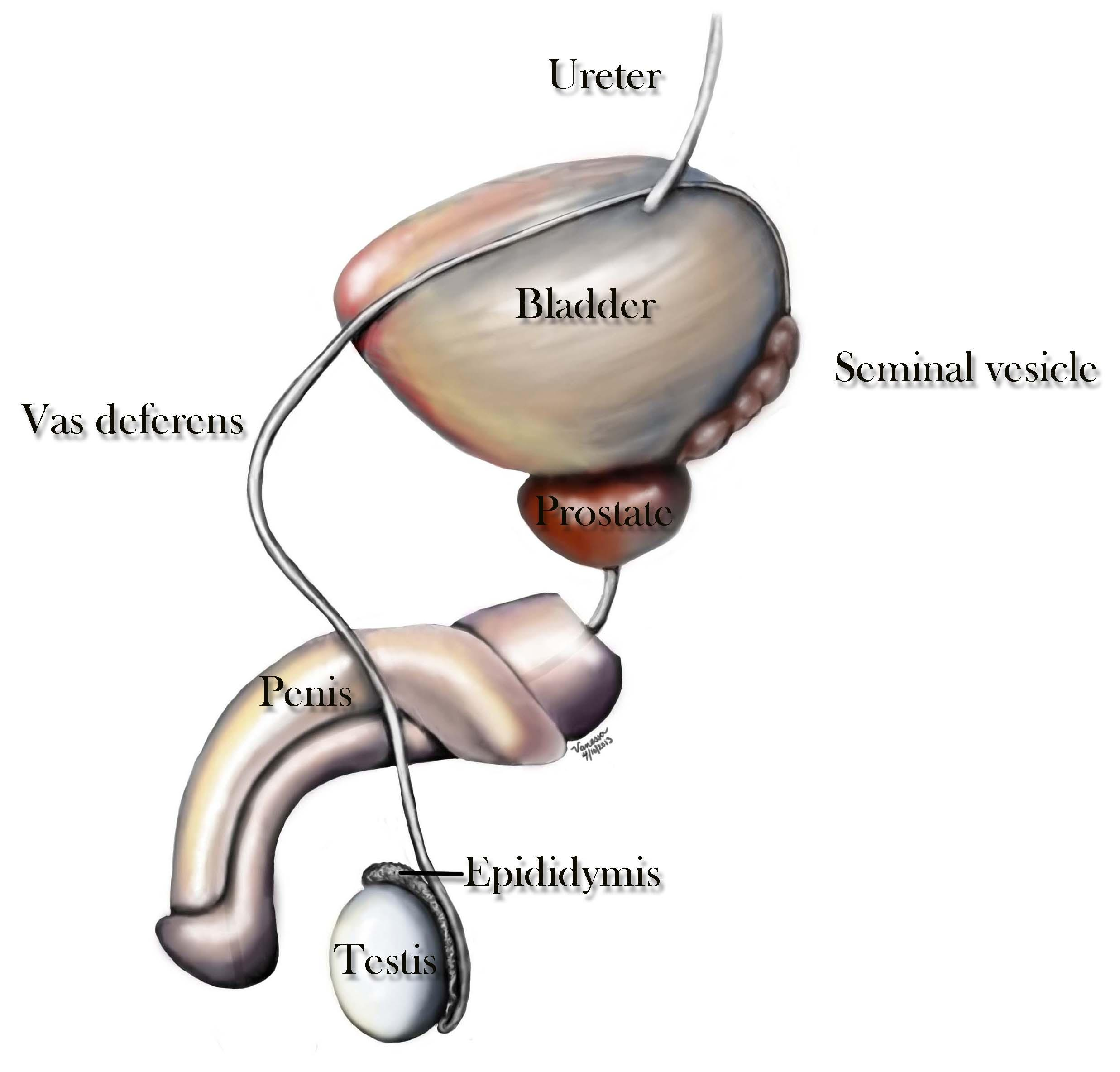 vas deferens & ejaculatory ducts | center for male reproductive, Human Body